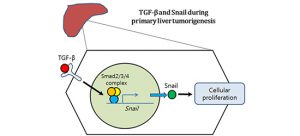 New Pathway from Liver Cirrhosis to Liver Cancer Discovered